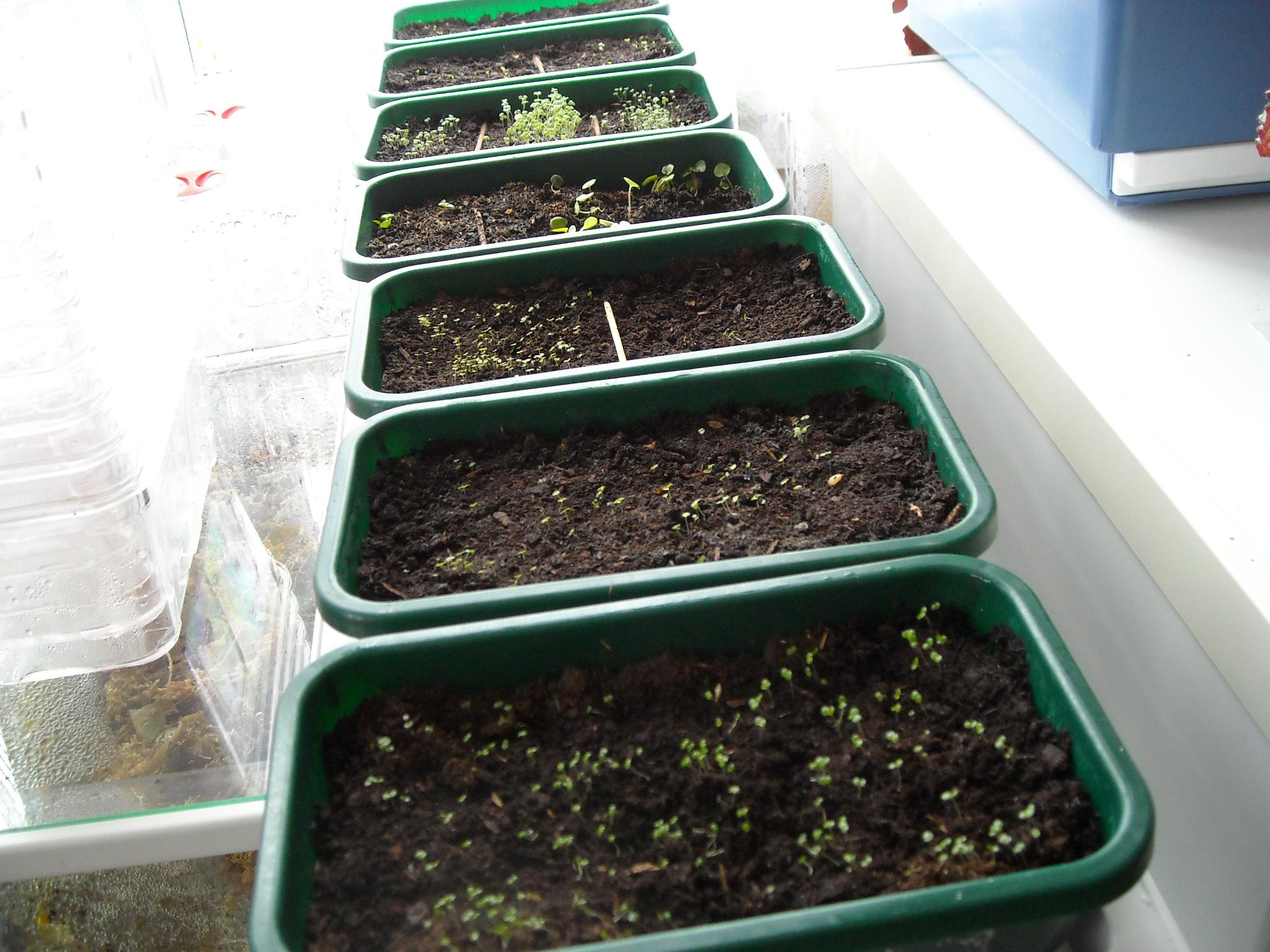 semis de bégonias 374678semencedebegonias002