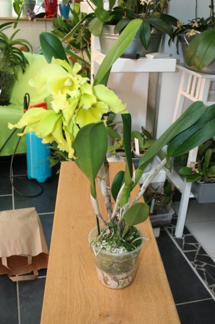 cattleya jaune vert a grosses fleurs  379376IMG9661