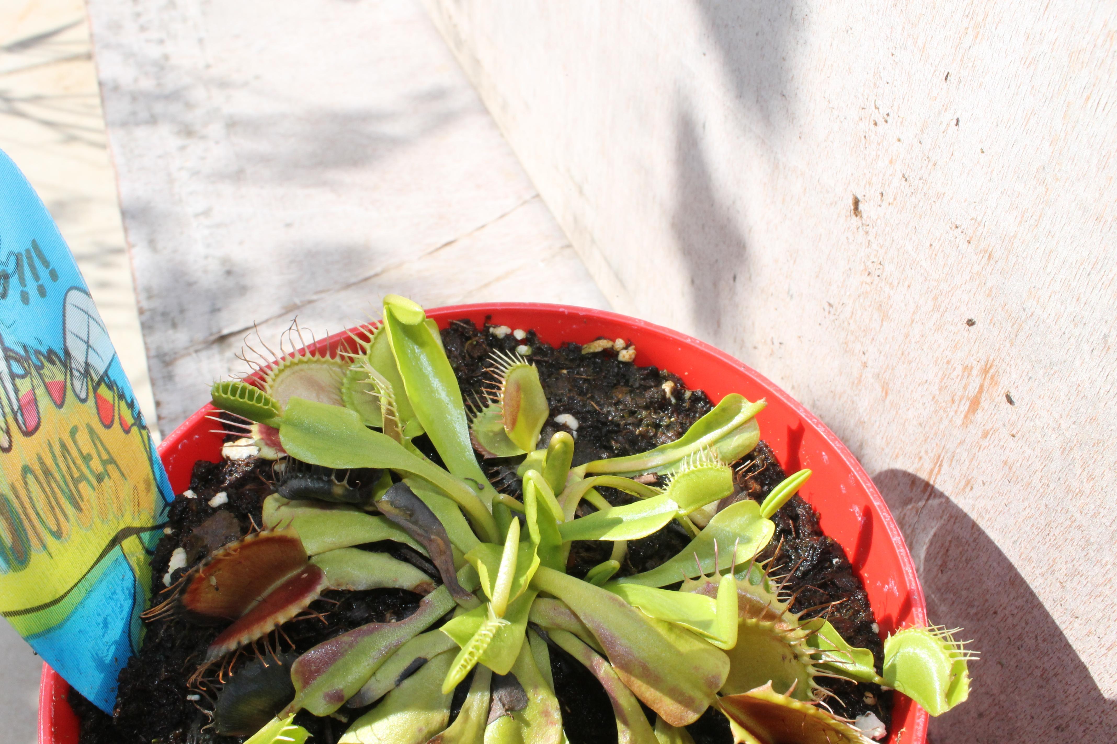 Dionaea Muscipula (Plante carnivore) - Page 2 38006623aout201517