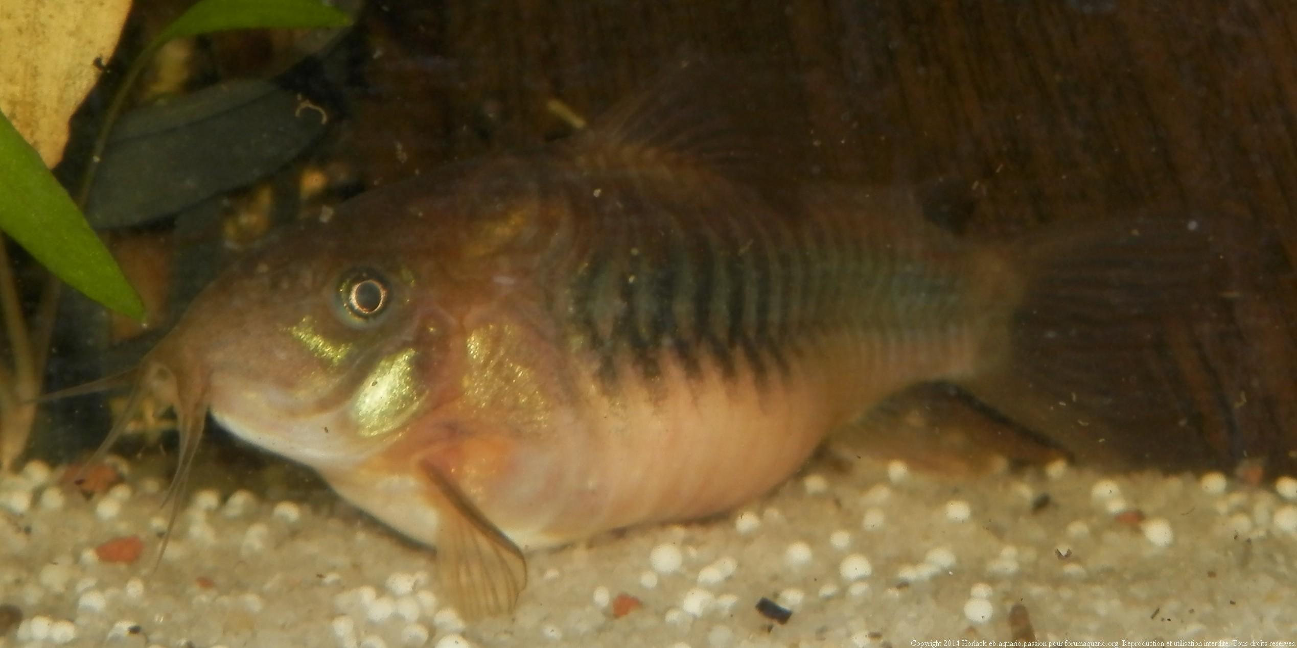 Reproduction Corydoras 385709CorydorasAeneus0004