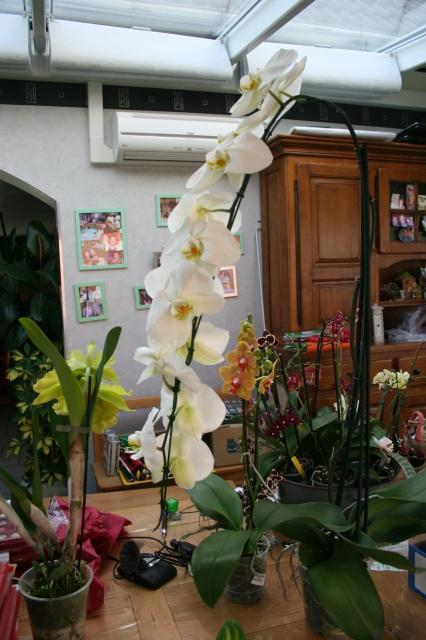 phalaenopsis blanc a fleurs enooooooooormes 388138IMG9666