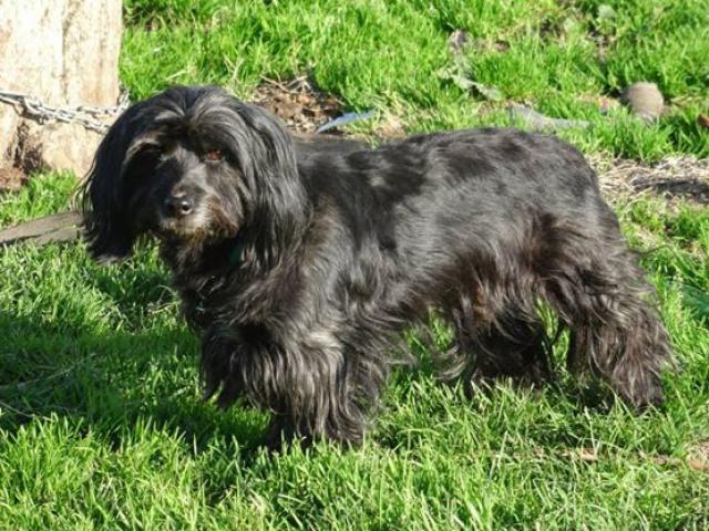 KENZO - cairn terrier/westie 10 ans (6 ans de refuge) SHPA à Le Havre (76) 393772107341878601161806884001149081675379637107n