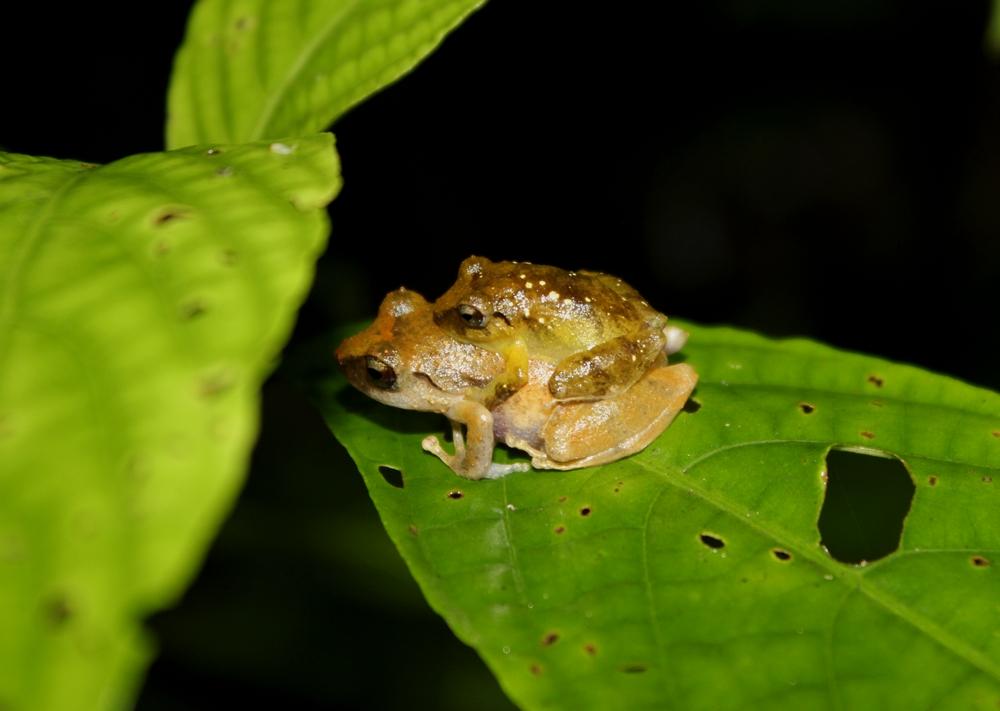 15 jours dans la jungle du Costa Rica - Page 2 395392amplexus2r