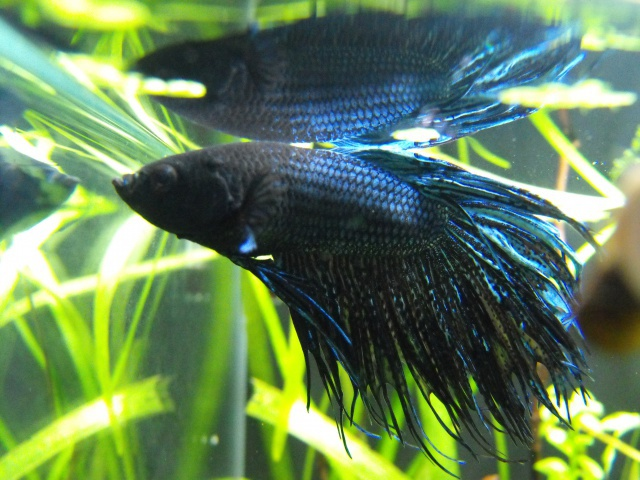 mes aquariums 397487BETTA
