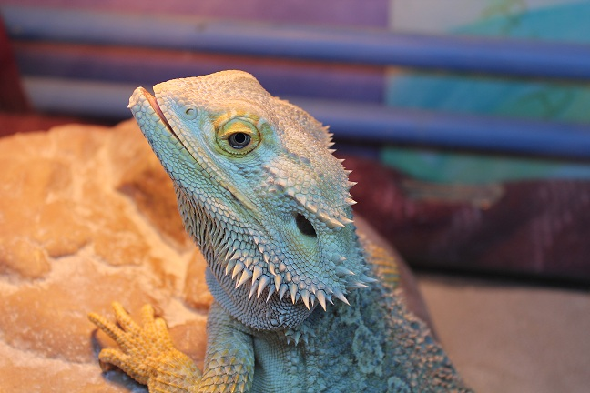 Besoin d'aide pour Bahamut (pogona) - Page 4 397521IMG2410