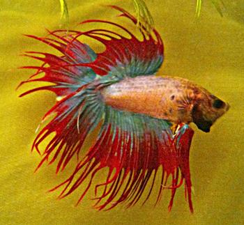 [ PHOTOS ] Les nids de bulles de nos poissons 399503DSC0088bis