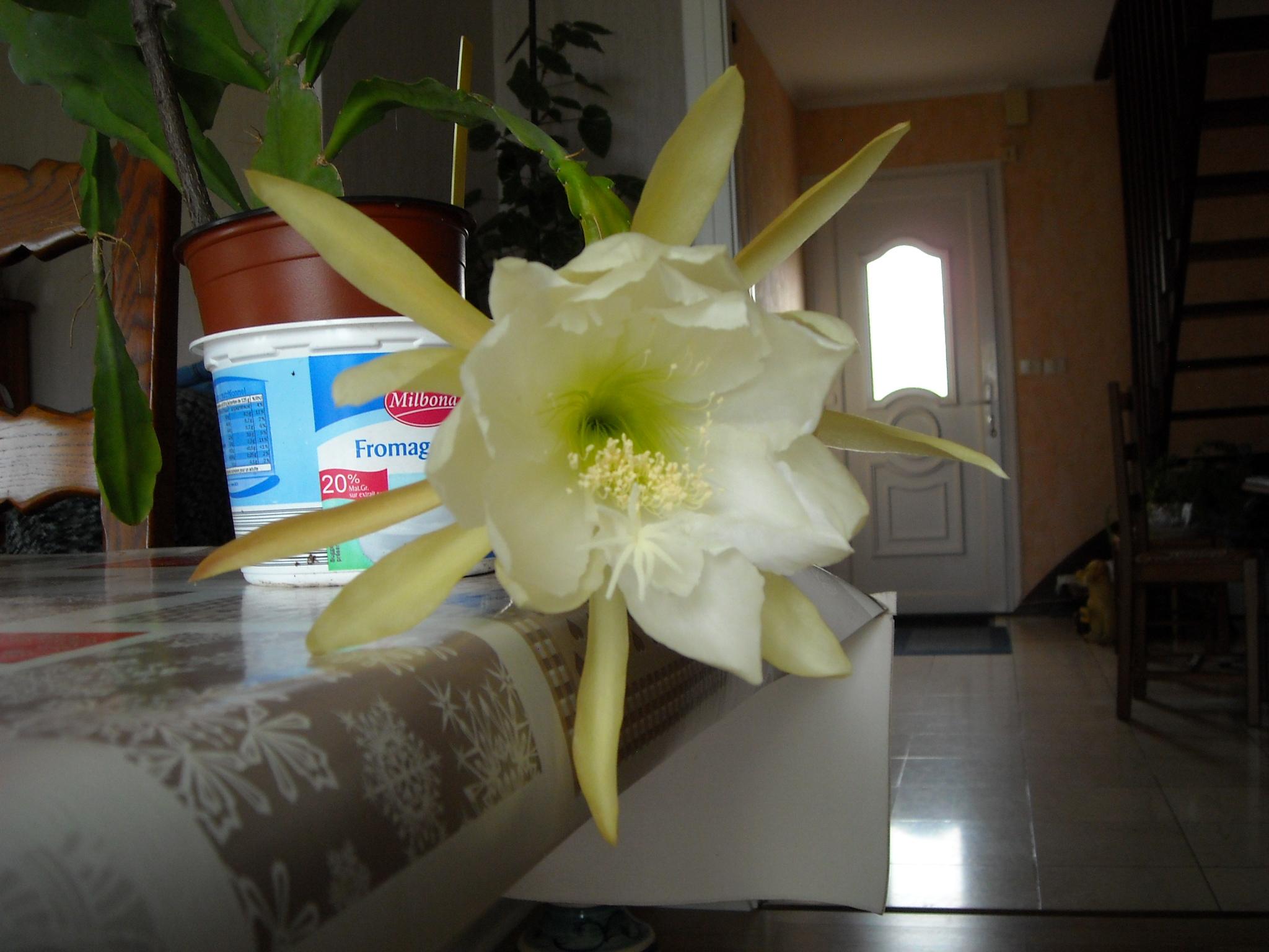 epiphyllum ackermanii 399901plantegrasse006