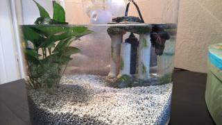 Aquarium betta eau trouble plus dépôt visqueux 402758poisson
