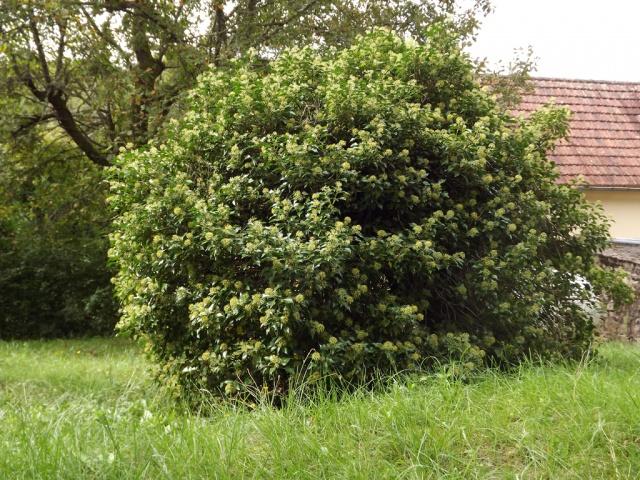 Hedera - lierre - espèces, hybrides horticoles 402988lierrearbustif