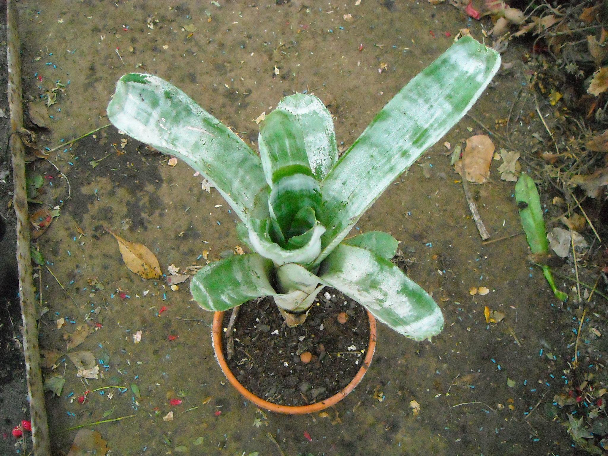 Billbergias  403307bilbergia001