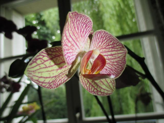 Phalaenopsis hybride 409720IMG7449