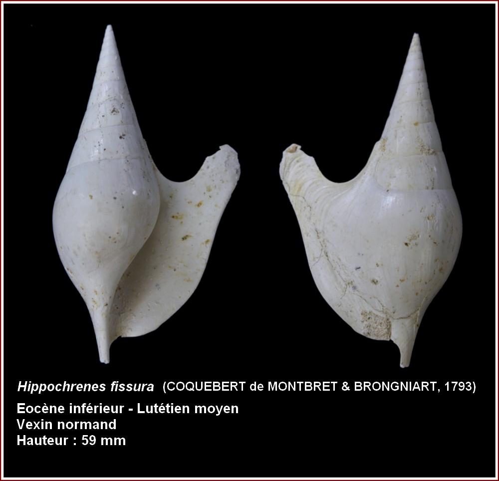 Strombidae - † Strombus fissura (Coquebert de Montbret & Brongniard, 1793)(GA 157-03) - Lutétien (Bassin Parisien) 412151plhippocrenesfissura