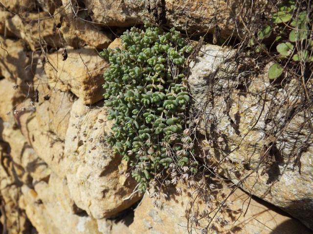 flore des vieux murs, rochers  et rocailles naturelles - Page 2 413045DSCF2987