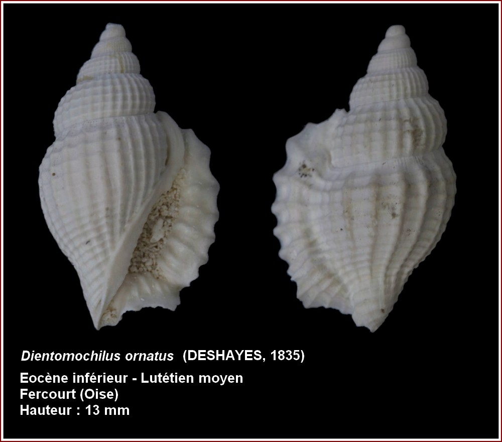 """Strombidae - † Strombidae fossiles de la collection """"hybodus"""" - Eocène du bassin parisien 415776pldientoornaltus"""