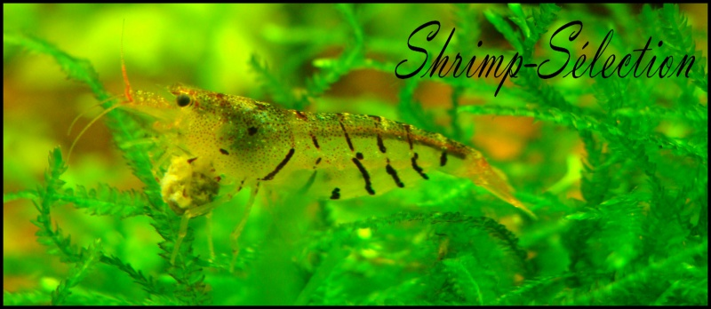 Shrimp-selection