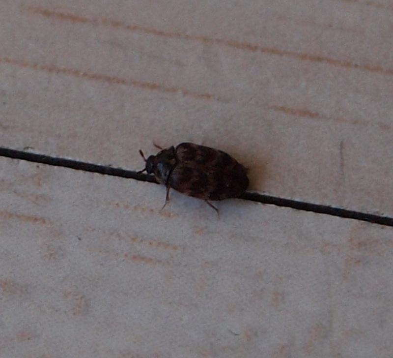 identification minuscule insecte dans mon appartement 422694insecte