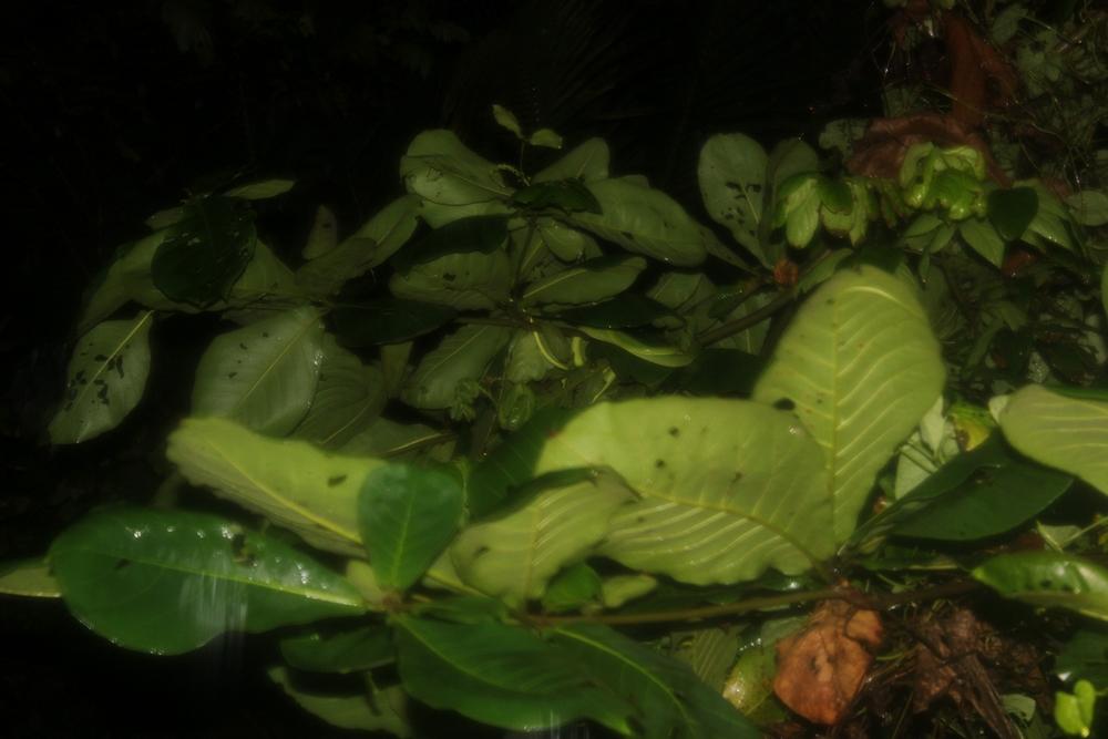 15 jours dans la jungle du Costa Rica 425393oxybelis1r