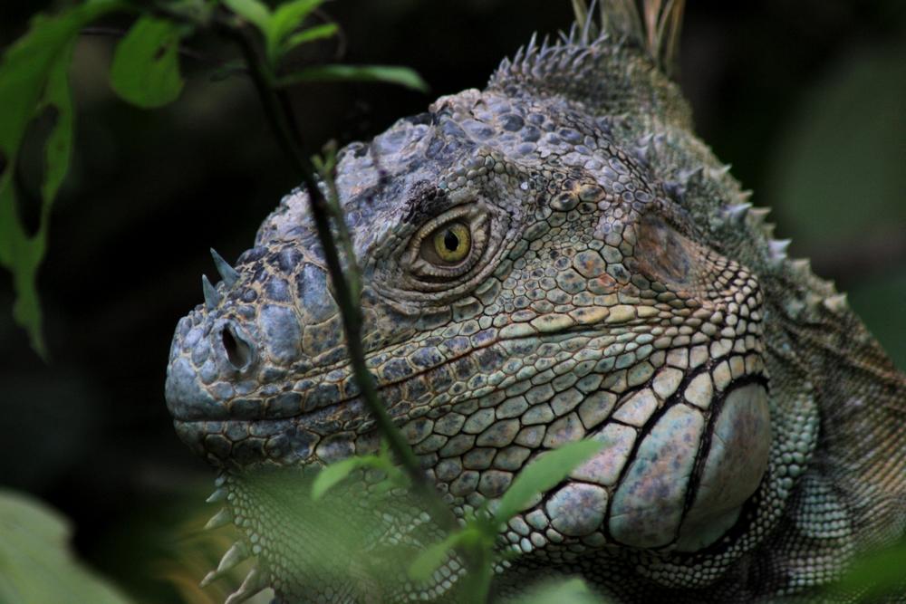 15 jours dans la jungle du Costa Rica - Page 2 426096igua2r