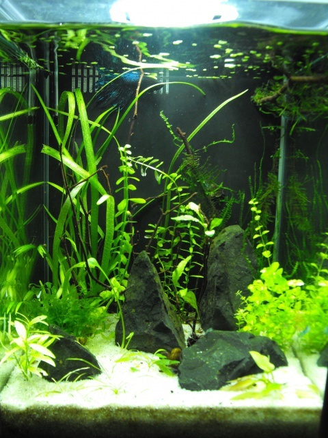 mes aquariums 43109015LBETTA