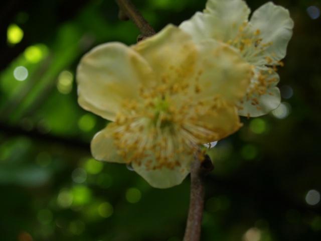 actinidia fruit kiwi - Page 5 433455P6112223