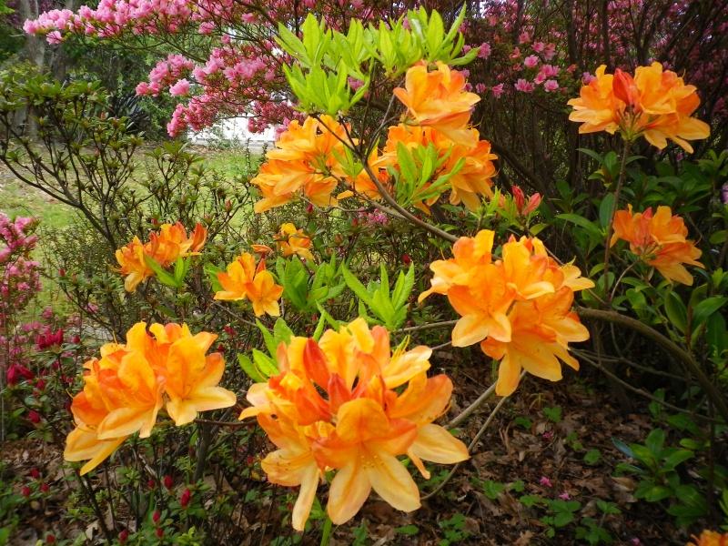 Quelques floraisons - Page 2 436469Azalemollis