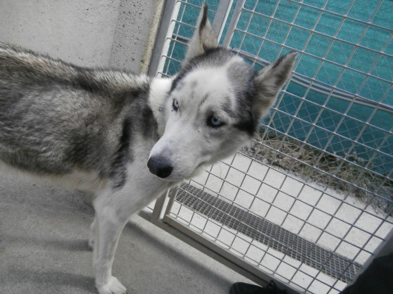 COMETE (femelle husky) 437699P4196118