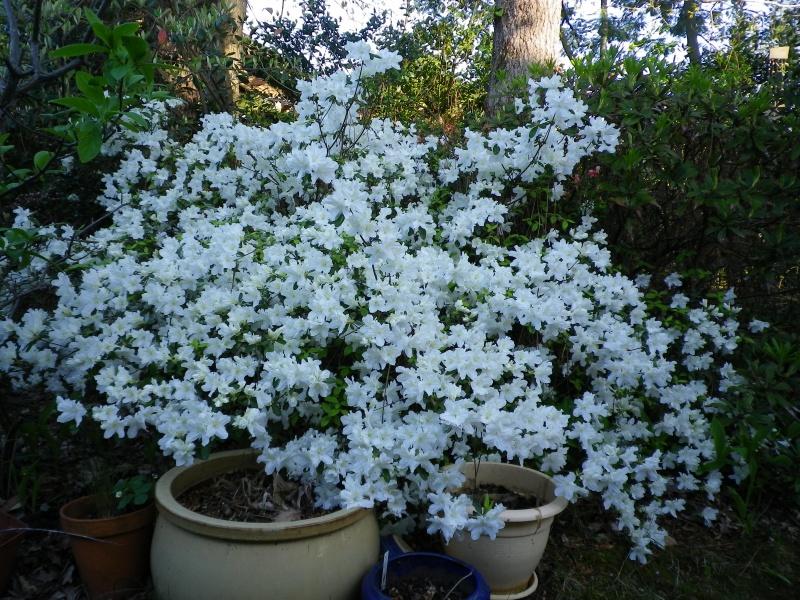 Quelques floraisons - Page 2 441816AzaleIMGP2921