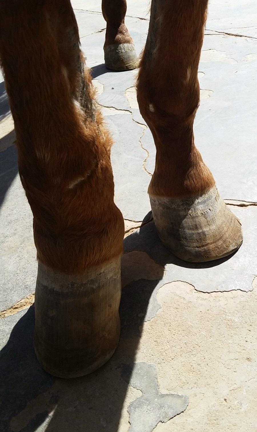 حصان عربي جميل  442207781