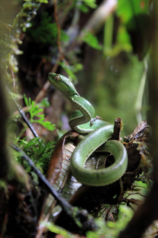 15 jours dans la jungle du Costa Rica - Page 2 442431lateralis12r