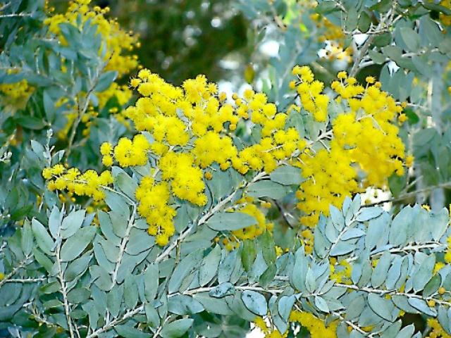 ça commence a fleurir...(Mimosa, Acacia dealbata) 442892jpmimosamodif4