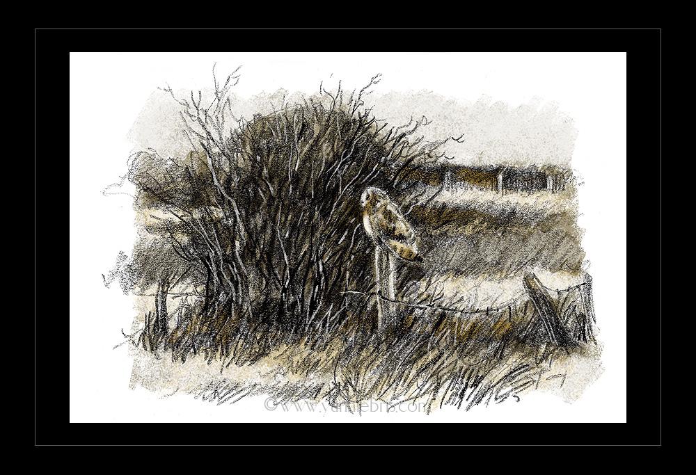 hiboux et busards dans les marais de Redon 442898HibMarais3