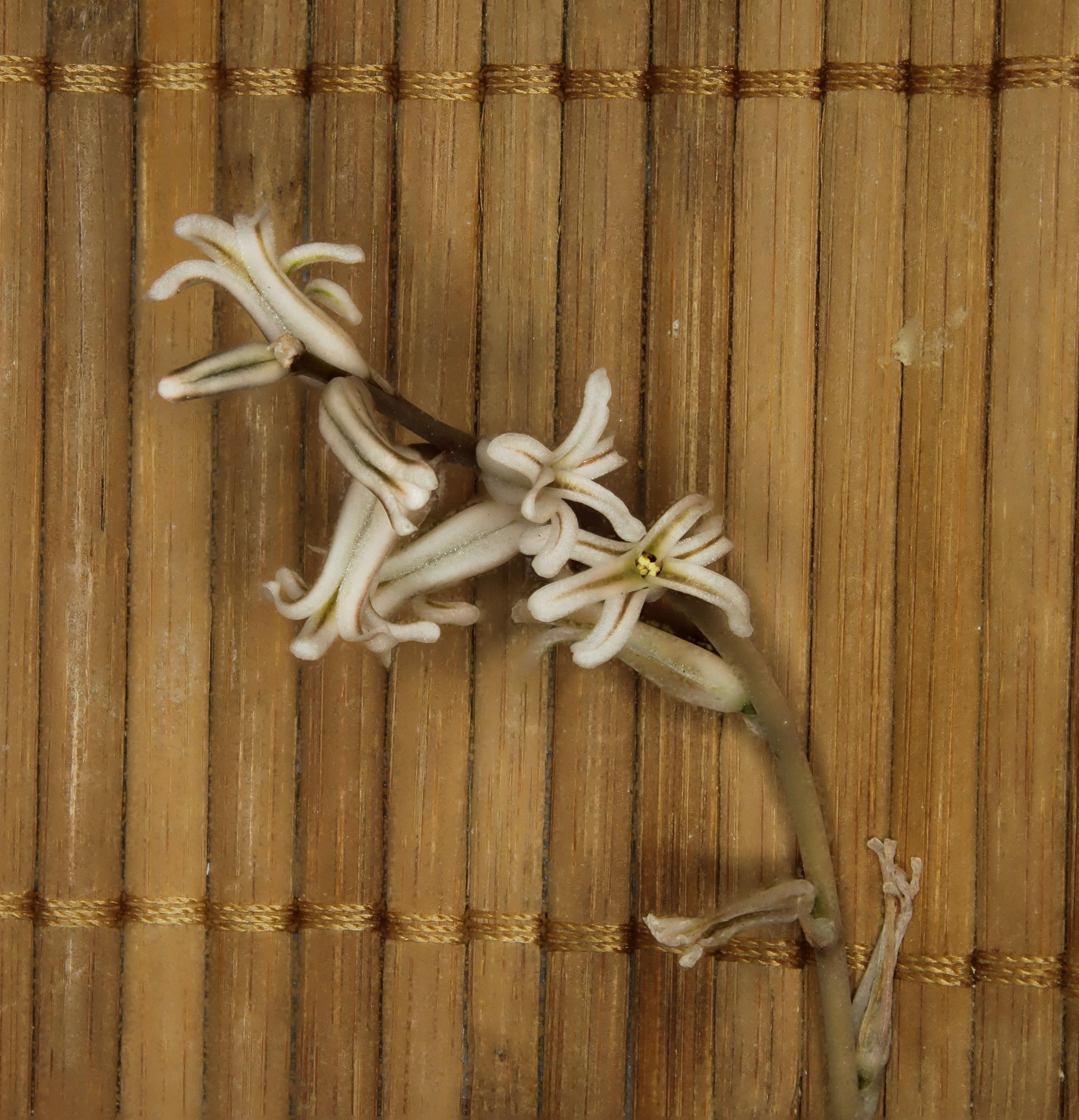 [Haworthia retusa ?] Un Haworthia ? Quatre boutons floraux en cours... 443321Haworthiafleurs