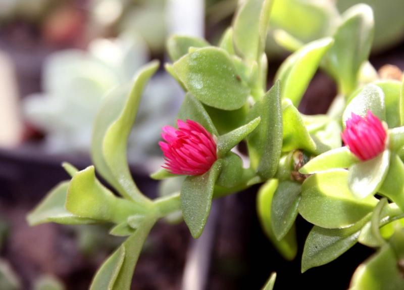 Aptenia cordifolia 450008apteniacardifolia