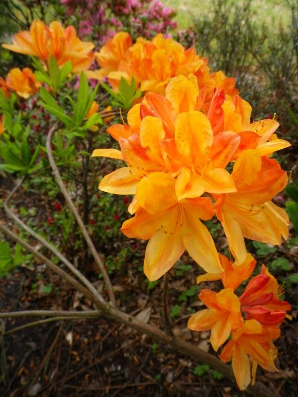 Quelques floraisons - Page 2 451889AzalemollisIMGP2934