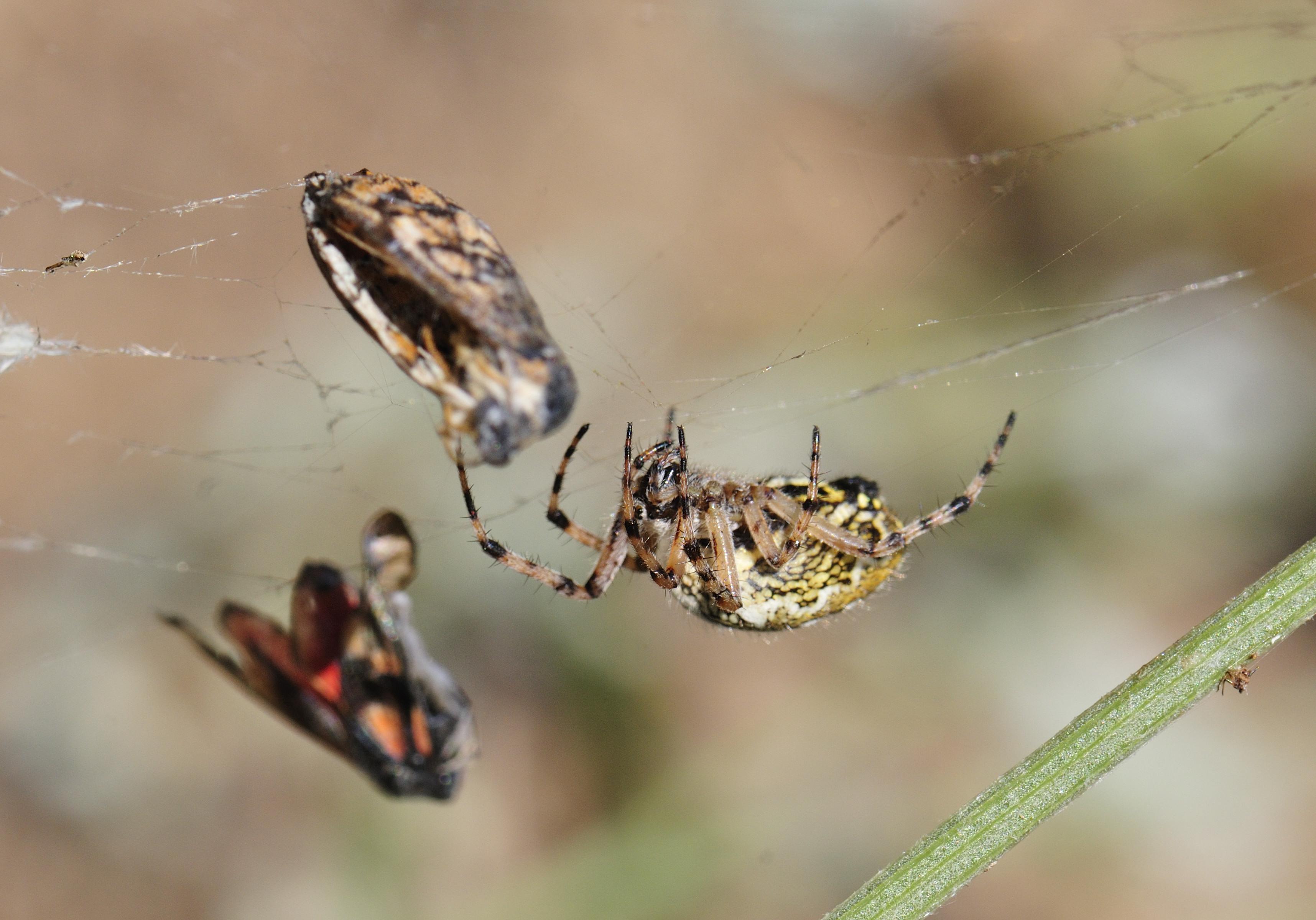 (FIL OUVERT à tous) vous aimez les araignées? 454520INSECTE6