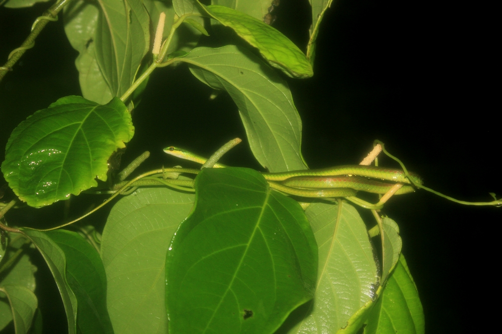 15 jours dans la jungle du Costa Rica 455630lepto1r
