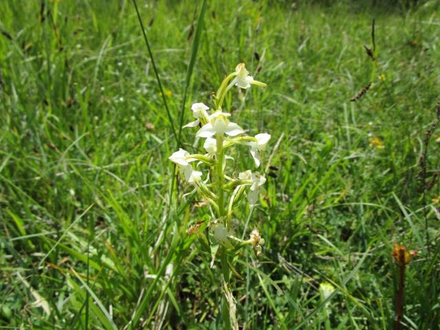 Quelques orchidées sauvages 458544IMG1880