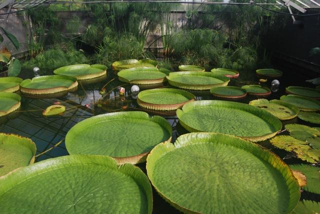 (47) Latour-Marliac, jardin de nénuphars - Le Temple-sur-Lot 459922DSC4923