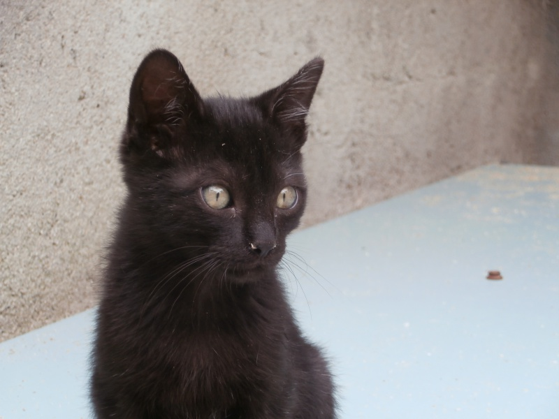 REGLISSE (chaton mâle noir) 461643P8231660