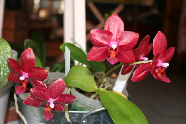 phalaenopsis miva midi libre 461916IMG9793
