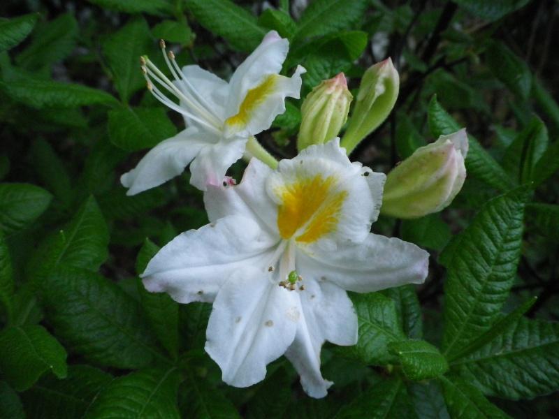 Quelques floraisons - Page 2 467522IMGP3101