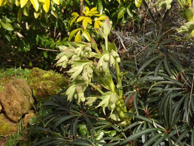 Helleborus foetidus - ellébore fétide 468879hellebore1
