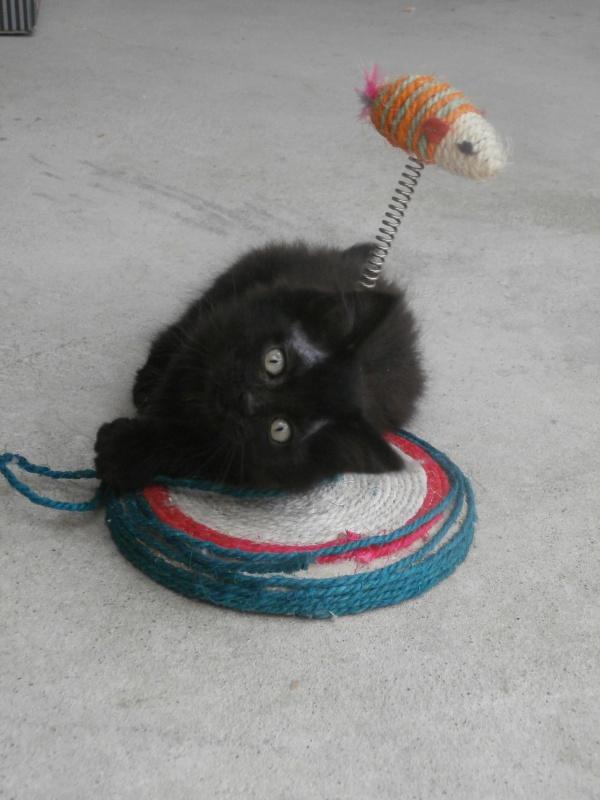 DOMINO (chaton mâle poils mi long) 470254P7024185