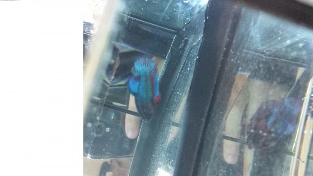 la femelle à mangé une nageoir de mon mâle !! :( 47054220130701185248