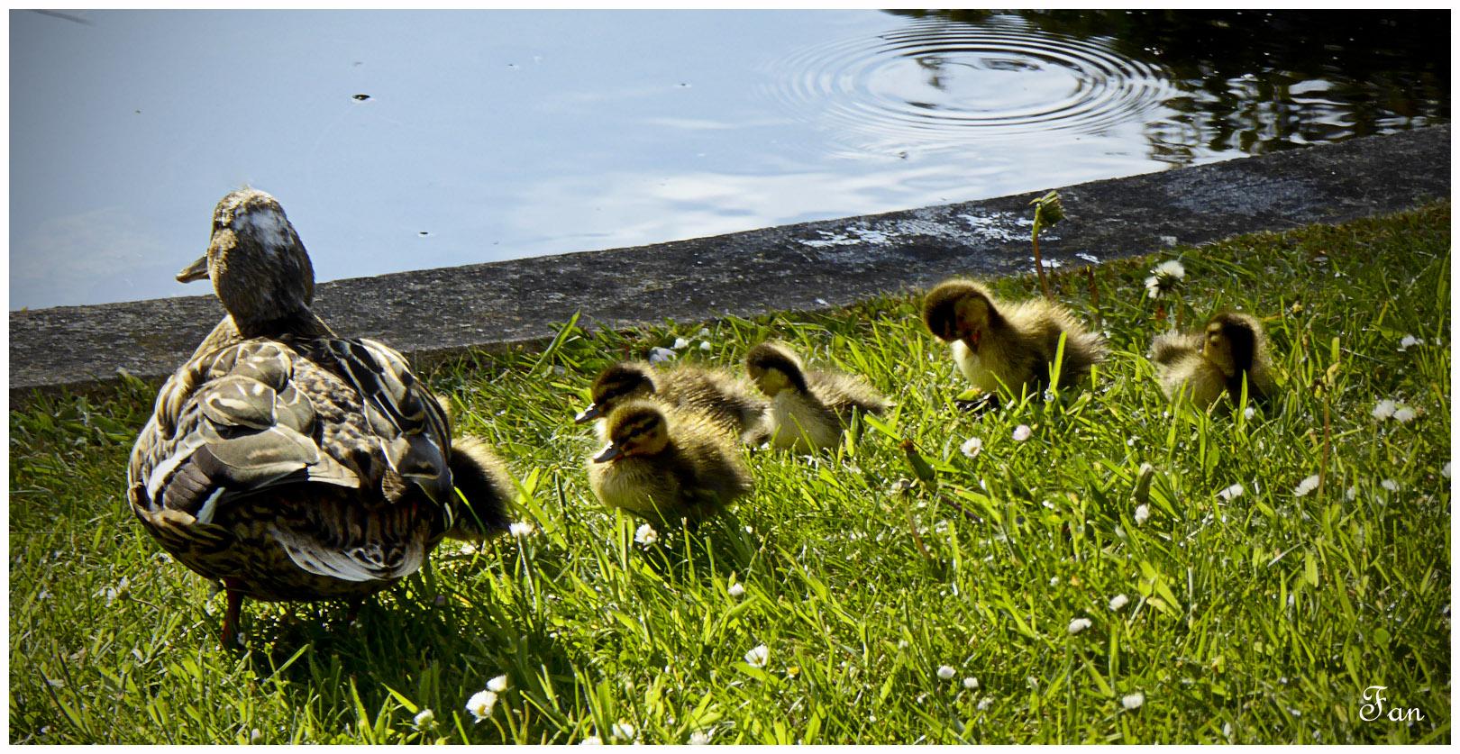 Naissance dans l' étang 472996P1020735bis