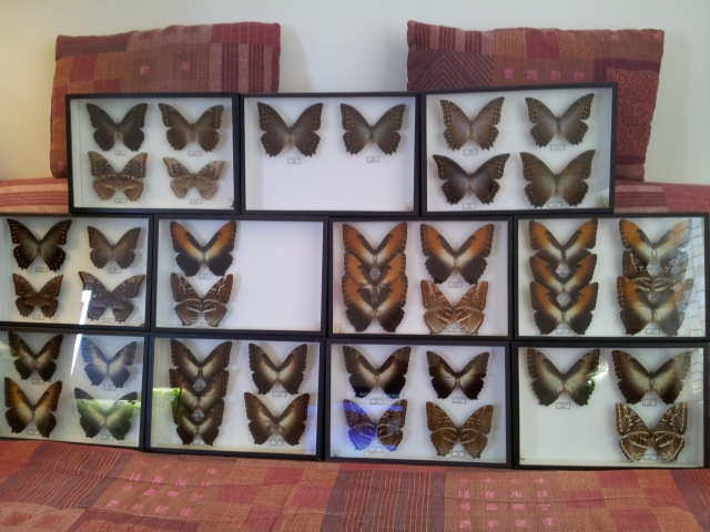 (trouvé) Morpho de la collection E. Le Moult 48147620121231101708