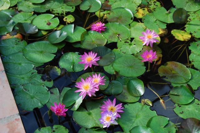 (47) Latour-Marliac, jardin de nénuphars - Le Temple-sur-Lot 482321DSC4933