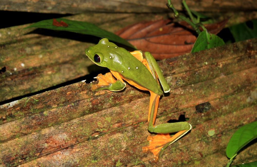 15 jours dans la jungle du Costa Rica - Page 2 487657spureli2r