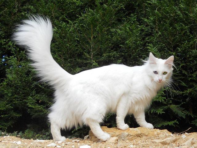 Zette, mon angora turque, une femelle 496024angoraturc182957