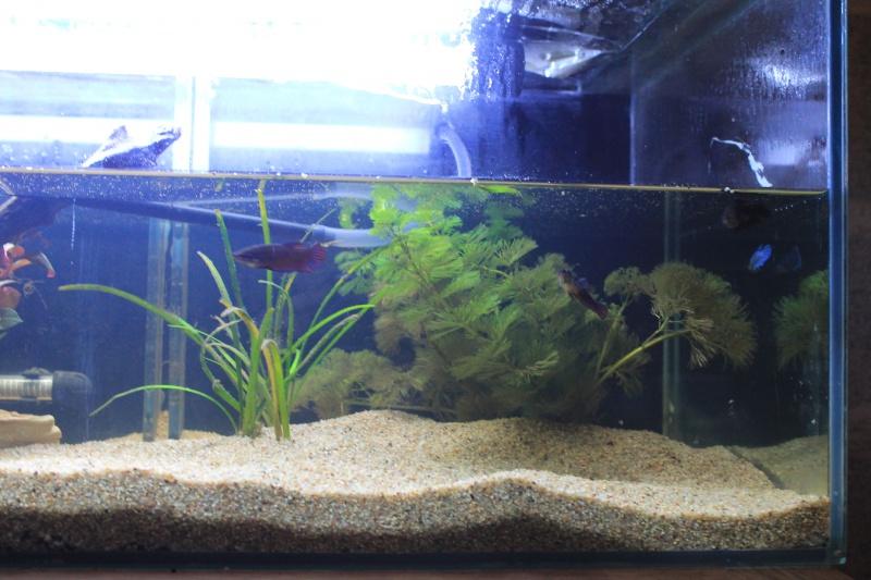 aquarium  100l pour mes femelles 497500ebay013